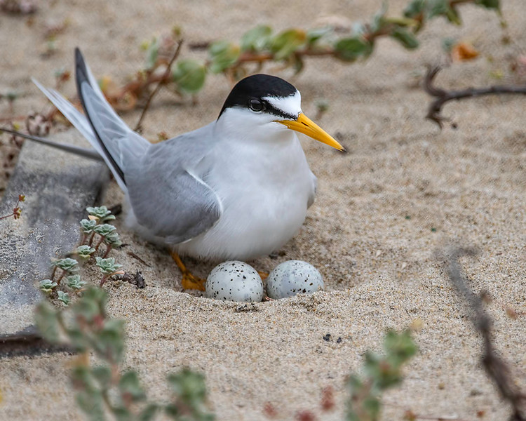 Tern on the nest