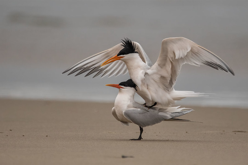 Elegant Terns mating