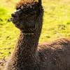 brown lama