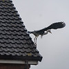Once in a blue moon usually in very bad light a Common Heron will land on the roof opposite me.