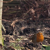 One of the several inquisative Robins that feed in my garden
