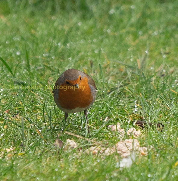 Robins will feed from the ground as well as the feeders i have out