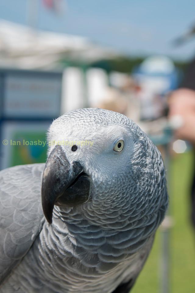 Inquisitive grey Parrot