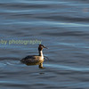 Gt.Creasted Grebe