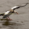 egyptian goose landing on water