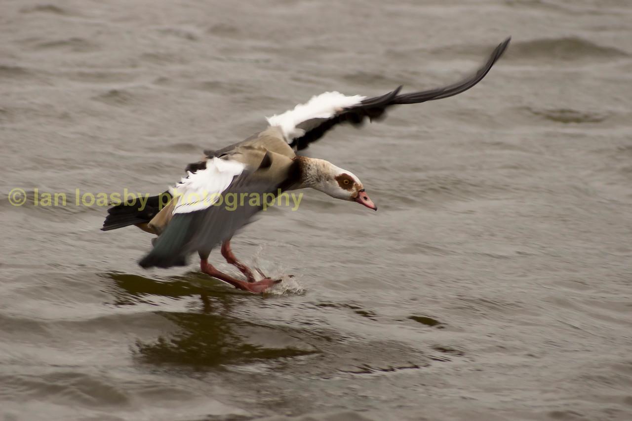 egyptian goose landing on water