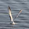 Herring Gull.