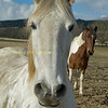 White friendly horse