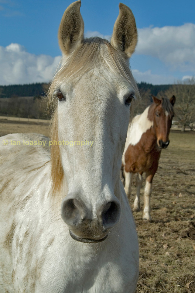 White friendly horse