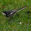 Wagtails make infrequent visits to my lawn and feeders