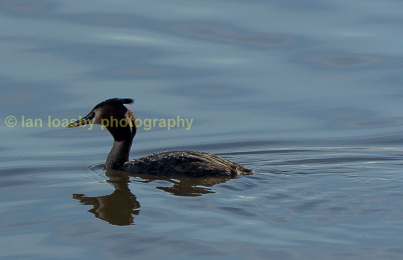 Gt creasted Grebe