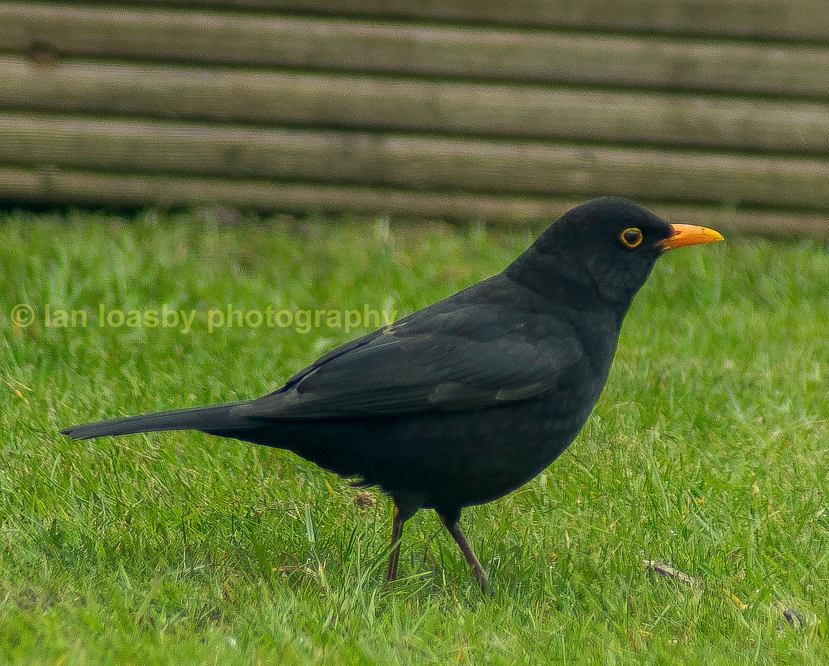 Another regular visitor to my garden