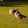 Greylag Geese<br /> (Anser Anser)