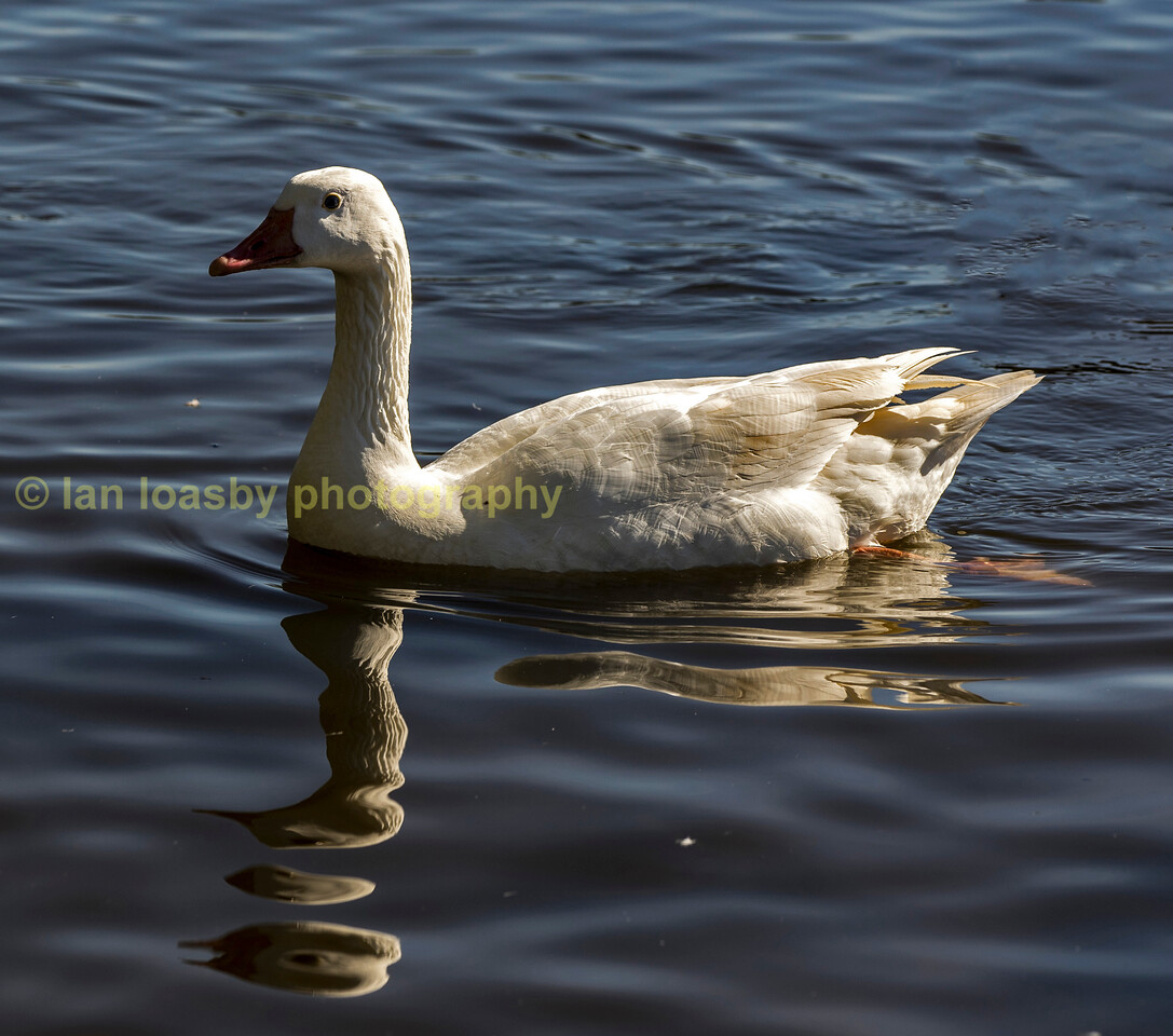Comman white goose
