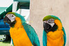 Pair of yellow & turquoise macaws