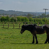 One of the farms resident ponies who helps 'new arrivals' settle in