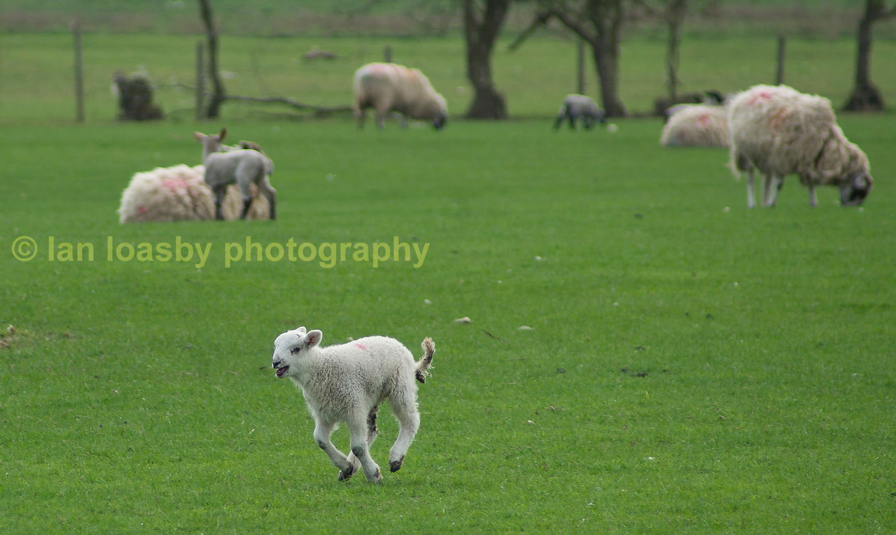 Spring lamb in more ways than one!