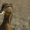 inquisitive  female mallard duck