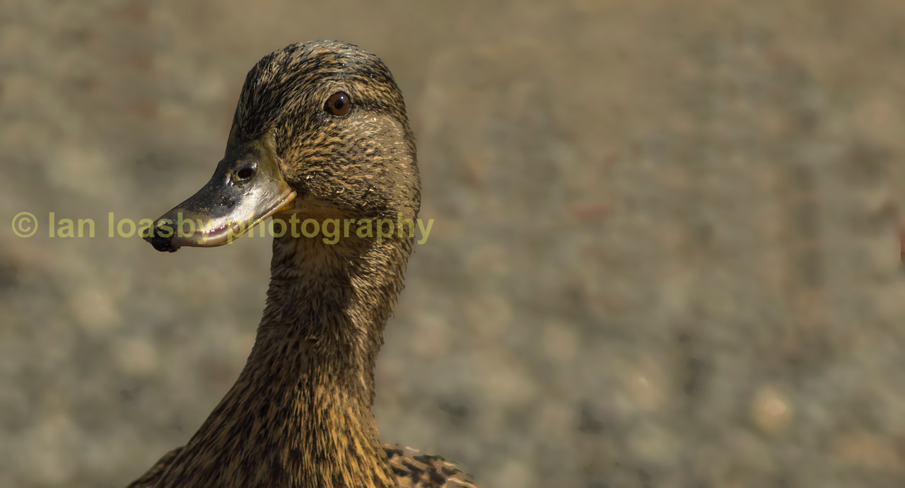 inquisitive  female mallard duck