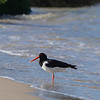 An Oystercatcher  on the foreshore at Studland beach Dorset