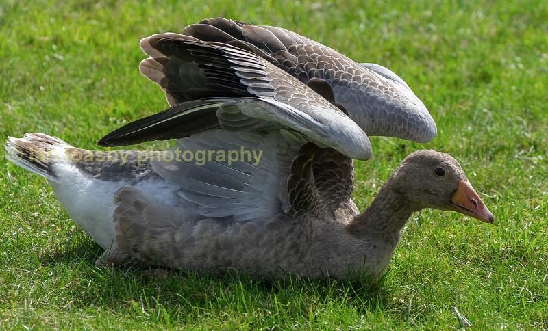 Greyling Goose folding wings