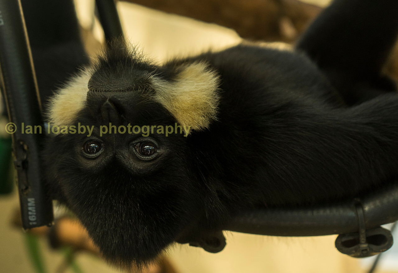 Tien, a Golden Cheeked Gibbon