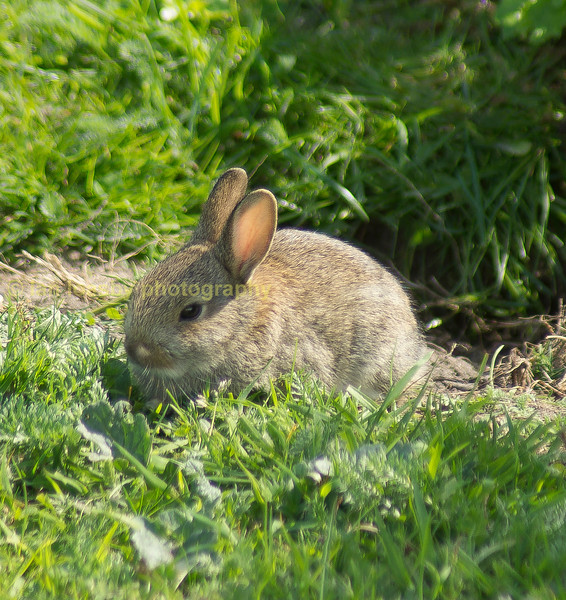 An inquisative and freindly wild baby rabbit