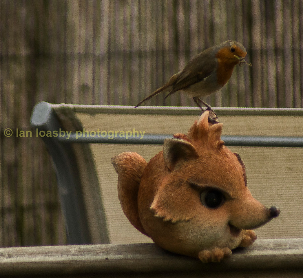 Foxy and feathered friend in the back garden