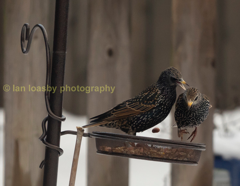 two starlings having a disagreement over a peanut!