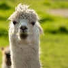 get my good side, close up portrait of a Lama