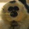 Kim, a female golden cheecked Gibbon