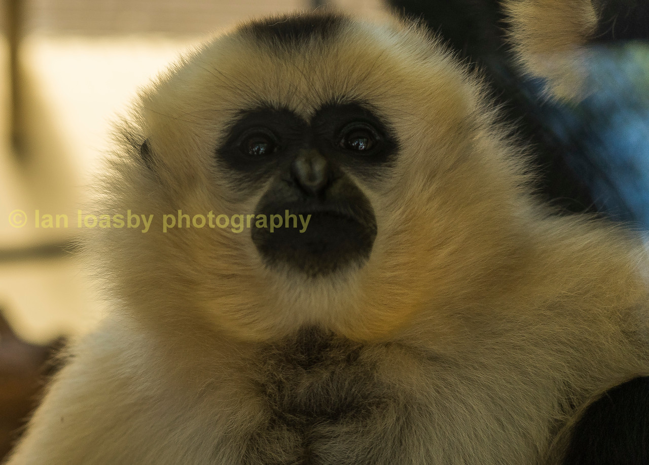 Kim, a female golden cheecked Gibbon