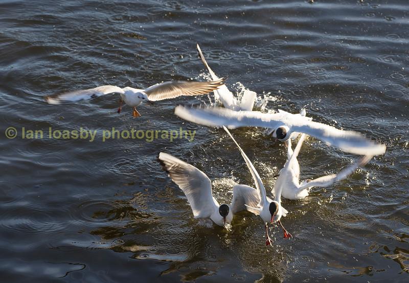 Squabling black Headed Gulls +  Herring Gulls