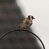 This magnificent little bird is a Gold finch
