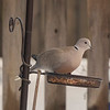 One of my favourite visitors a 'Collared Dove' so named because of the ring of dark feathers around its neck