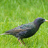 A Starling in the back garden