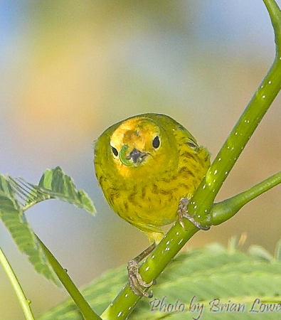 Yellow Warbler with a bug-meal