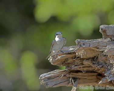 Blue Mangrove Swallow