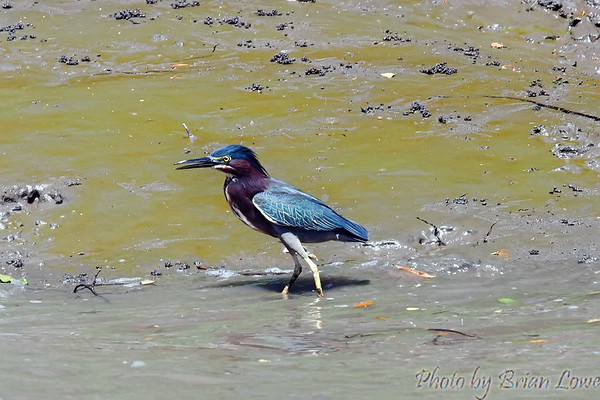 We think this is the Green Backed Heron