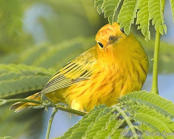 Yellow Warbler looking for more bugs
