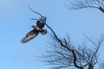 Scottish Common Buzzard in Flight