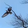 Scottish Common Buzzard in Flight