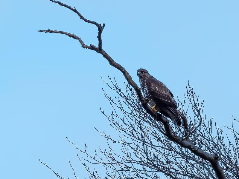 Scottish Common Buzzard on Tree