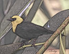 Bird Artwork<br /> Blackbird_Yellow-headed_(1)_MSJ_9497_Art<br /> Original Photo Taken 5/13/16 3:02:31 PM