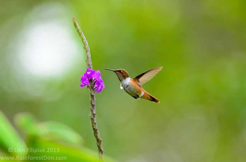 Scintillant Hummingbirds (<i>Selasphorus scintilla</i>) measure a mere three inches in size and are endemic to Costa Rica and western Panama.This is a female. Photo taken without flash. March 2013
