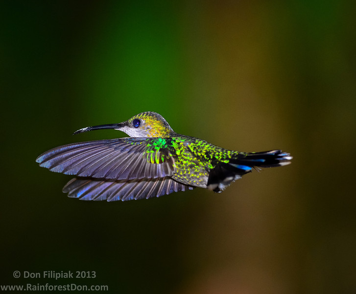 Violet-crowned Woodnymph (Thalurania colombica), female<br /> Rara Avis Rainforest Reserve, Costa Rica