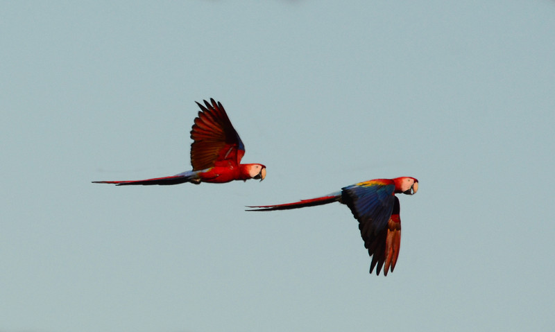 This image of the Scarlet Macaws (<i>Ara macao</i>) was captured while eating a breakfast of gallo pinto one morning.