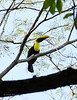Chestnut-mandibled Toucan (<i>Ramphastos swainsonii</i>) Dominical, Costa Rica