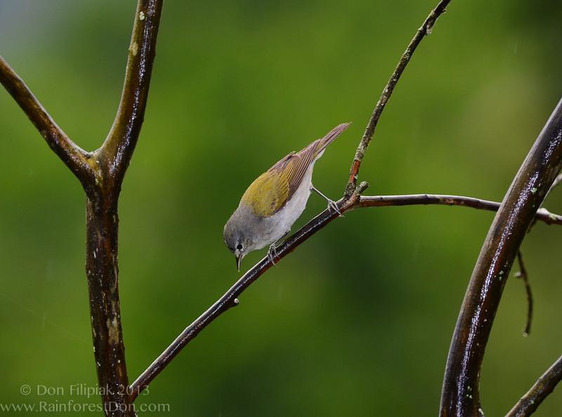 Tennessee Warbler (<i>Oreothlypis peregrina</i>) Finca La Escondida, Cordillera de Talamanca, Pacific, Costa Rica