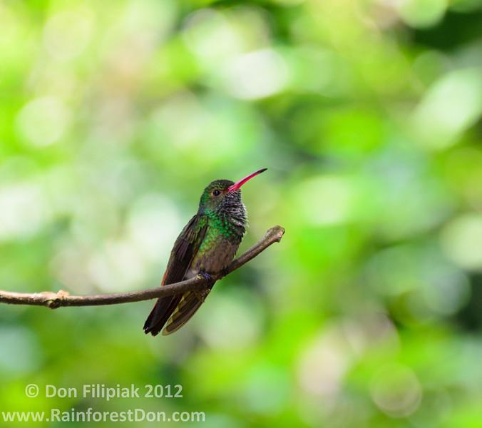 Rufous-tailed Hummingbird<br /> Gamboa, Panama